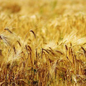 Keukenwand - Corn field