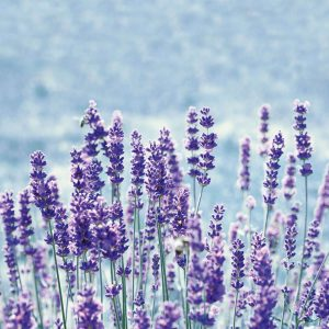 Keukenwand met print - Lavendel